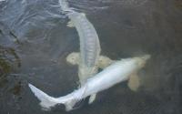 Единственные в Астрахани белуги-альбиносы, занесенные в Красную Книгу МСОП